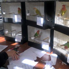 Papagáj bíró szintén Szerbiából